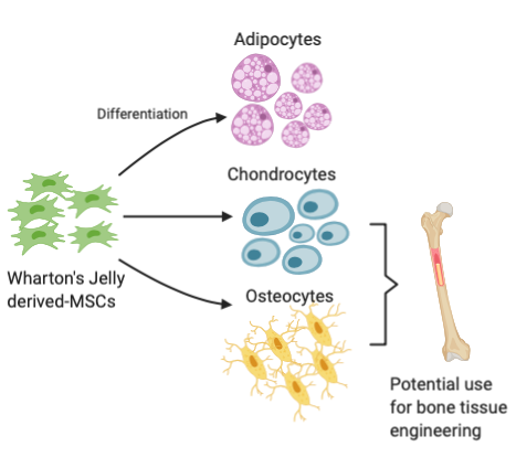 Wharton's Jelly Mesenchymal Stem Cells: Differentiation Capacity Showing its Role in Bone Tissue Engineering